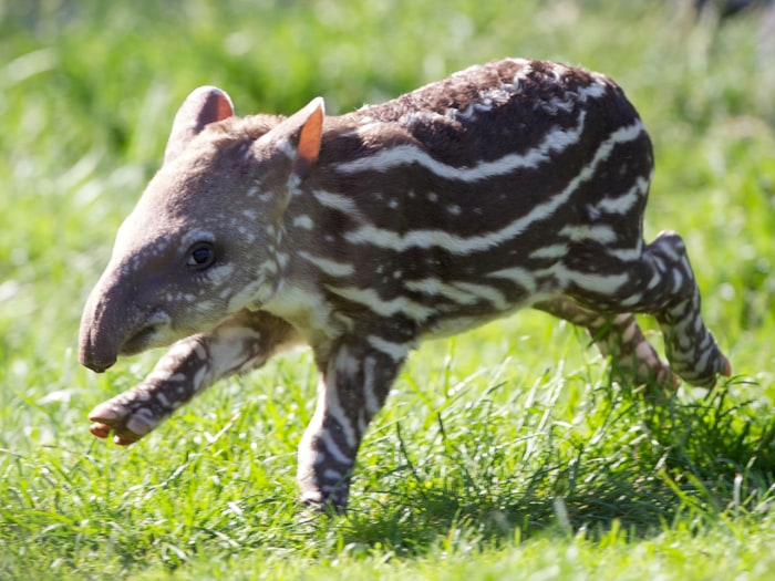 This baby tapir is the Dublin Zoo's latest arrival.  Dublin Zoo is celebrating the birth of a Brazilian tapir. The male calf, born on July 1st to mum Rio and dad Marmaduke, is the b...