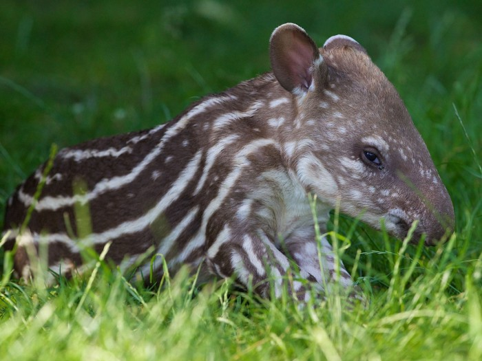 Cute alert! The calf is the second child for the tapir couple.