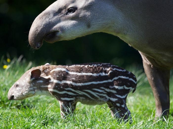 New tapir, Dublin Zoo