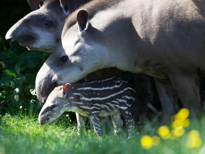 new baby tapir, Dublin Zoo