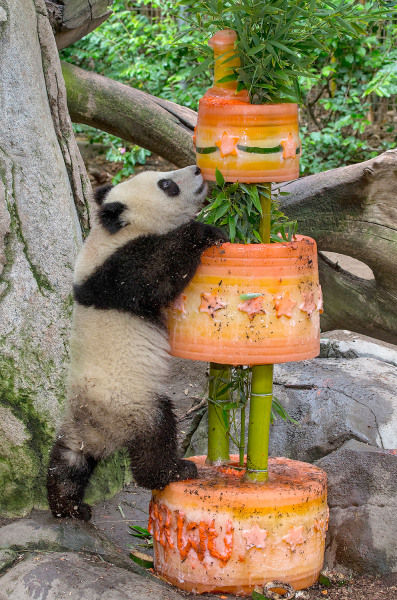 Giant panda cub Xiao Liwu reached for treats at the top of his birthday cake this morning at the San Diego Zoo. The panda received the three-tiered ic...