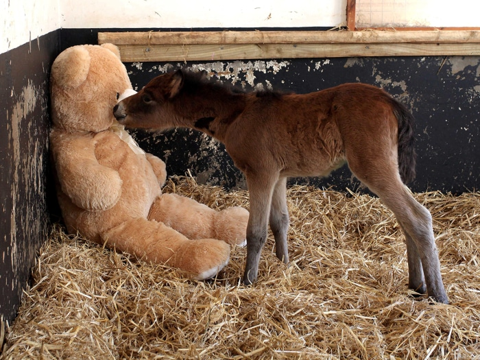 Image: Breeze the foal with Button the teddy bear