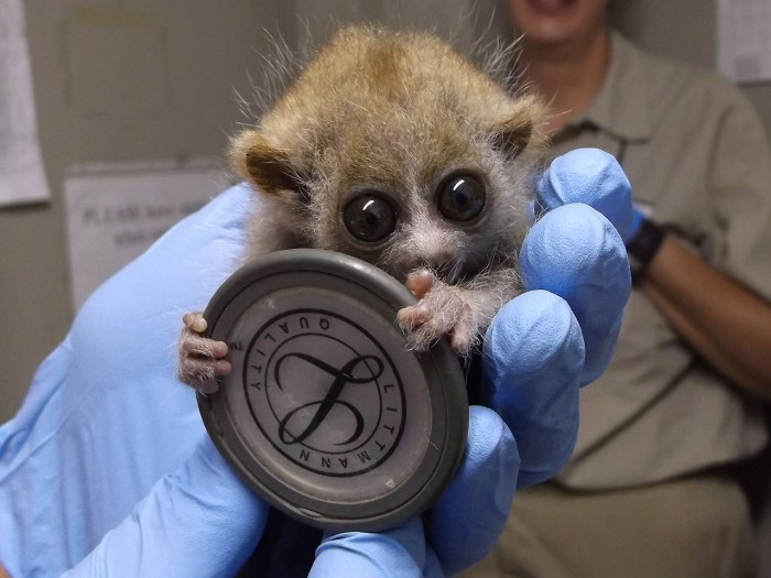 One of the baby slow lorises.