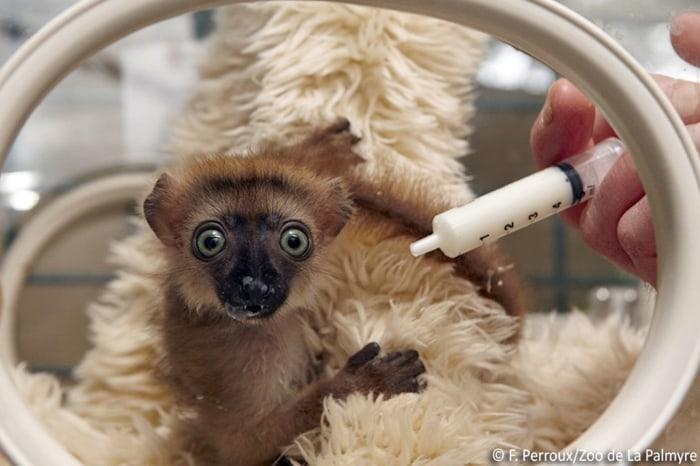 Baby blue-eyed lemur.