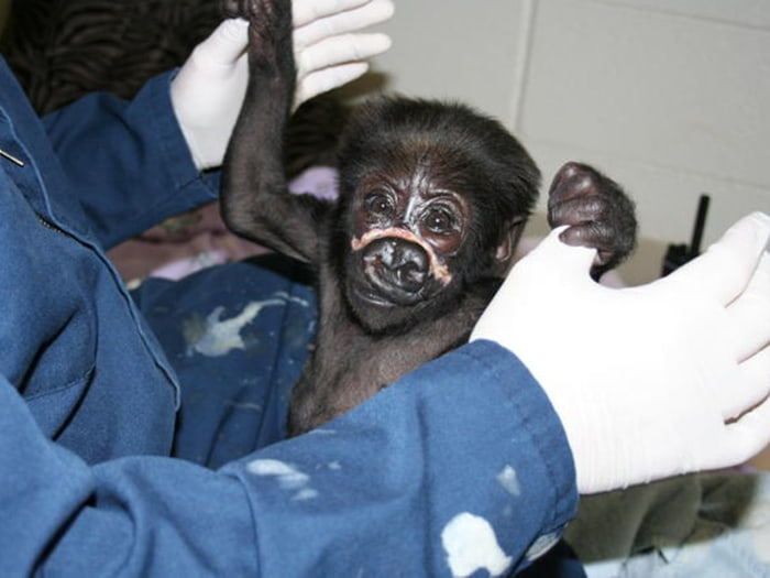 Image: 3-month-old baby gorilla, Nyembi