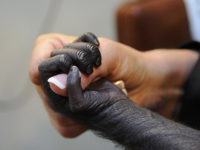 This photo provided by the Cincinnati Zoo on Friday, March 1, 2013, shows a baby gorilla named Gladys holding the finger of a surrogate human mother a...