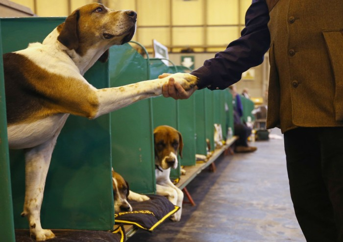 A man shakes the paw of a Foxhound during the first day of the Crufts Dog Show in Birmingham, central England March 7, 2013. REUTERS/Darren Staples   ...