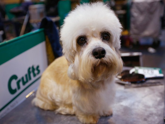 A Dandie Dinmont Terrier awaits judging during the first day of the Crufts Dog Show in Birmingham, central England March 7, 2013. REUTERS/Darren Stapl...