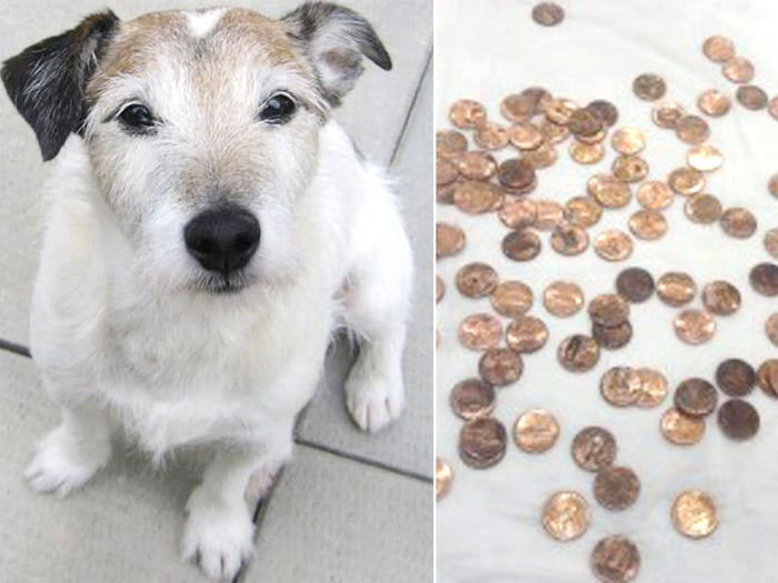 This Jack Russell is in great spirits, after recovering from eating 111 pennies.