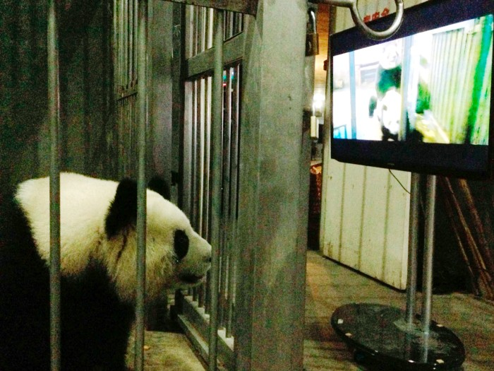 A female giant panda Ke Lin watching a panda mating video.