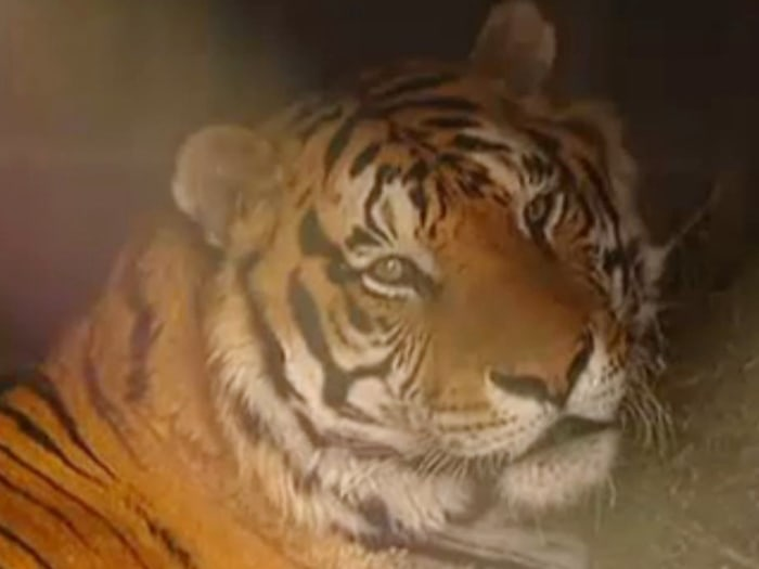 North Texas tiger, Tacoma, recovering after hip surgery.