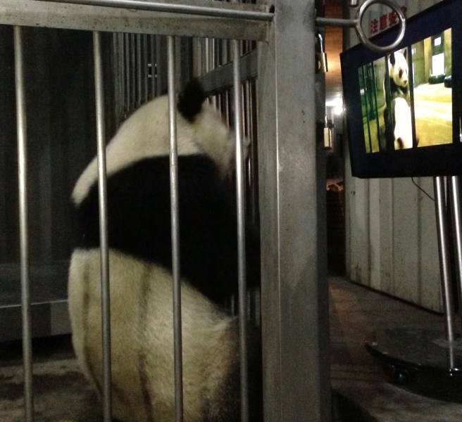 A female giant panda Ke Lin watches a panda mating video.
