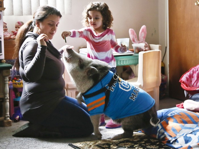 Danielle Forgione and her daughter, Olivia, 3, play with Petey, the family's pet pig, on Thursday, March 21, 2013, in the Queens borough of New York. ...