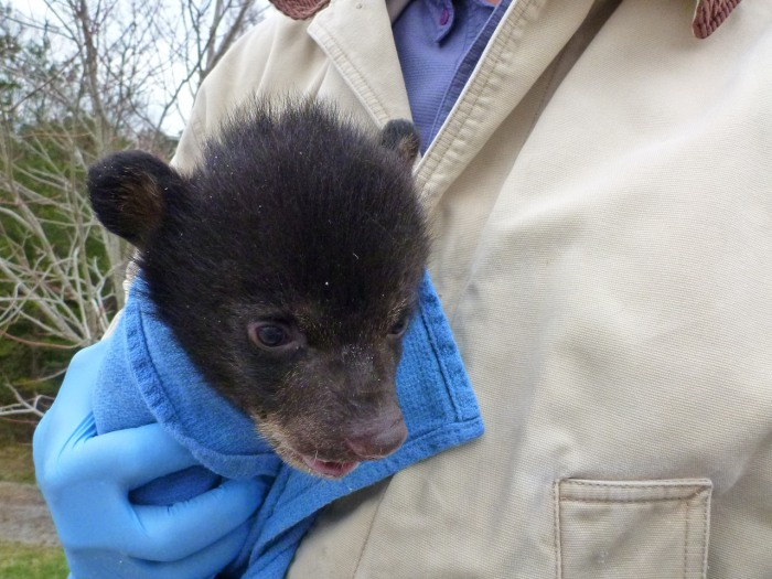 A one-month-old black bear cub nicknamed Cassie Bear has been reunited with her two male siblings for the first time since the three cubs were found abandoned in a cardboard box by the side of the road in South Carolina earlier this month.