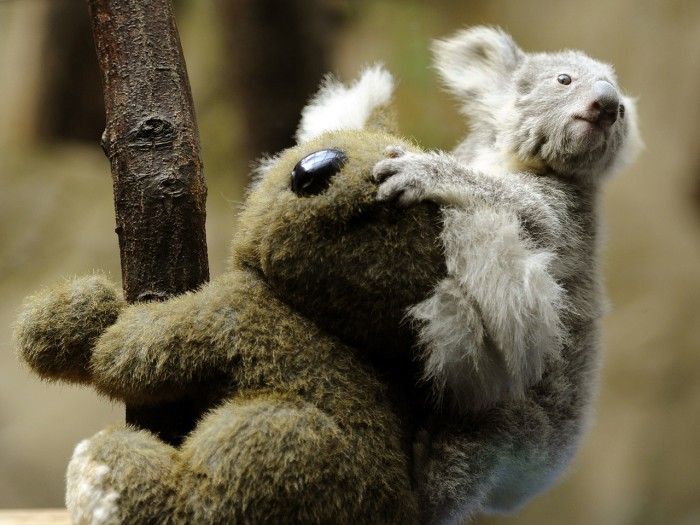 A young koala sits on the back of a toy koala while being weighed in the zoo in Duisburg, Germany, on March 27, 2013. The young animal is one of two b...