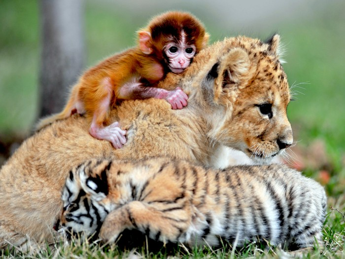 Image: SHENYANG, May 1, 2013  A triplet of baby monkey, tiger and lion cuddle at the ''animial kindergarten'' of a zoo in Shenyang, capital of northeast Chin...