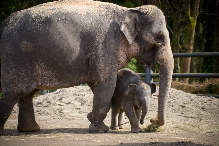 Asian elephant calf Lily with her mother Rose-Tu in the east habitat at the Oregon Zoo. © Oregon Zoo / photo by Michael Durham.