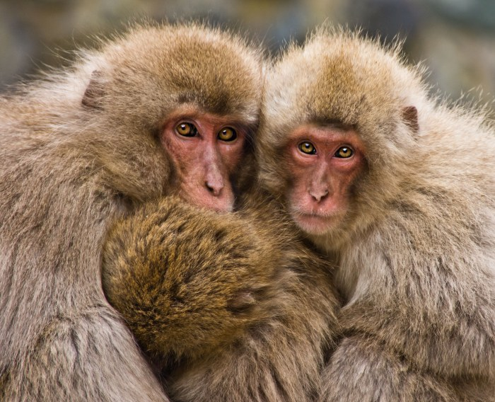 Image: A family of snow monkeys cuddling up together for security and warmth.