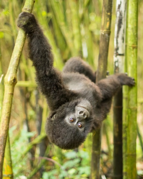 Image: A 2-year-old Mountain Gorilla (Gorilla beringei beringei) of the Sabinyo family plays in the bamboo forest of Volcanoes National Park, Rwanda.