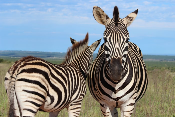 Image: Zebras in the Addo Elephant National Park in South Africa