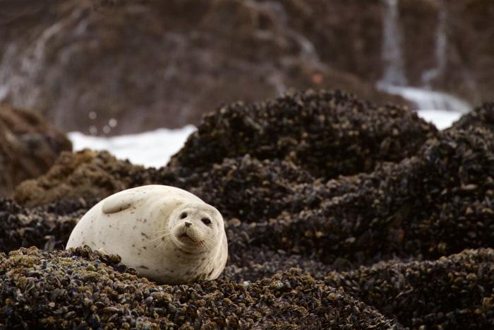 Image: Sea lion on Pacific Coast of Oregon