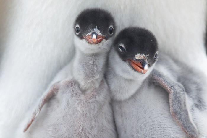 Image: Two newly hatched Gentoo Penguin chicks get their first glimpse at the Antarctic wilderness.