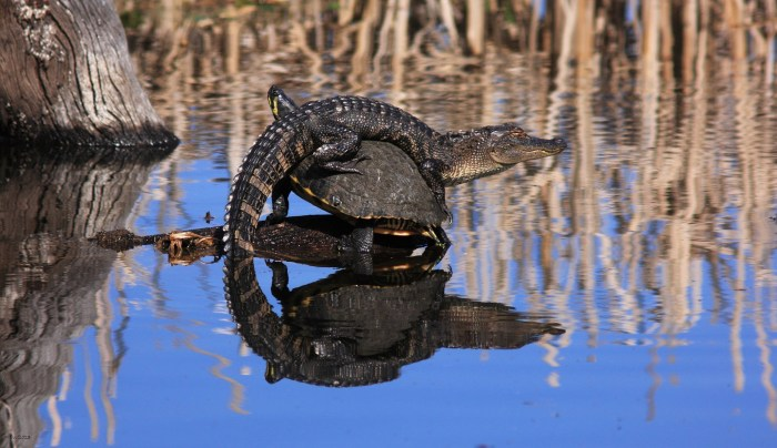 Image: I have seen alligators and turtles together in ponds before, but never like this!