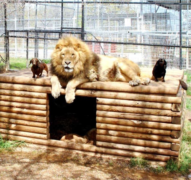 *** EXCLUSIVE***  WYNNEWOOD, OK - UNDATED: Bonedigger the lion with two dachshund pals Milo and Bullet at Exotic Animal Park in Wynnewood, Oklahoma.  ...