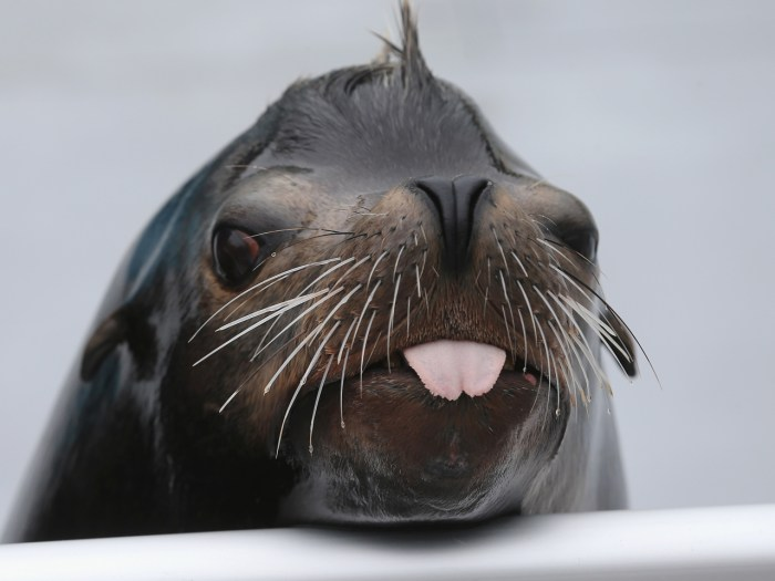 Image: Sea lion Osborne looks toward the crowd during a press preview before the re-opening of the Wildlife Conservation Society New ...