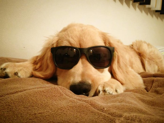 Ray Charles The Golden Retriever