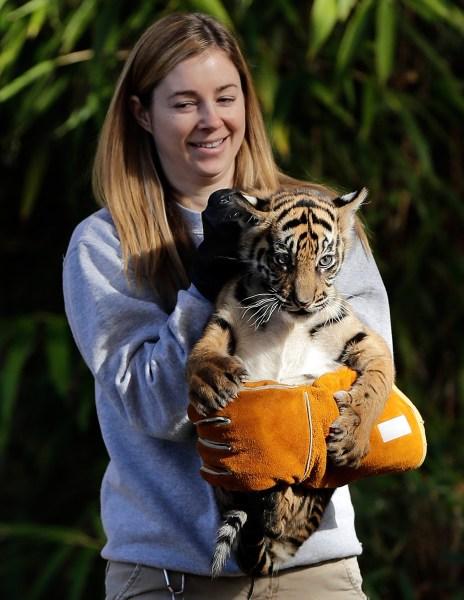Back on dry land after her swim test, tiger cub Sukacita gets bundled up by biologist Leigh Pitsko.