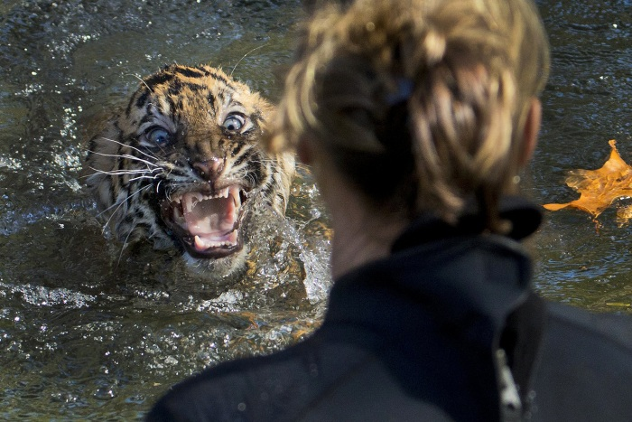 "A three-month-old Sumatran tiger cub named ""Bandar"" shows his displeasure after being dunked in the tiger exhibit moat for a swim reliability test at ..."