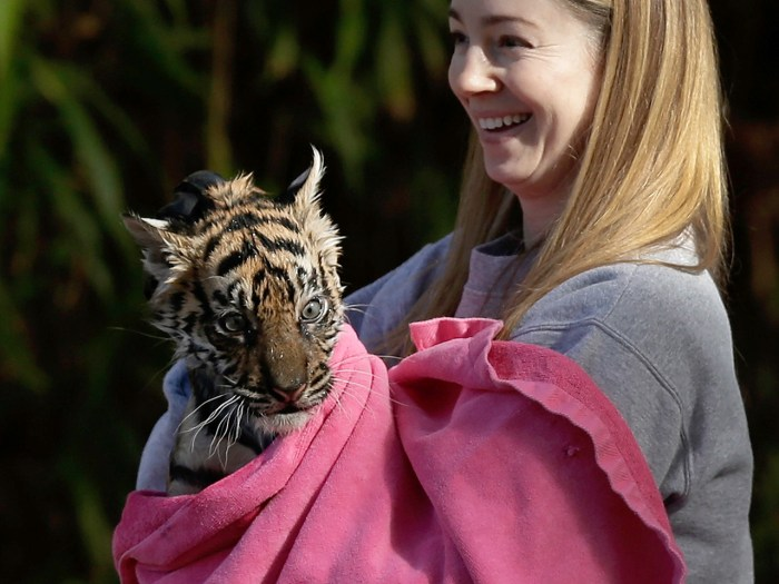 Sukacita, a female tiger cub, gets dried off by biologist Leigh Pitsko after passing her swim test with flying colors.