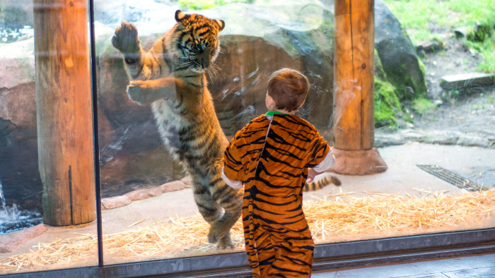 Marshall David Shaffer, two-years-old, plays with tiger cub Kali at the Point Defiance Zoo in Tacoma, Wa.