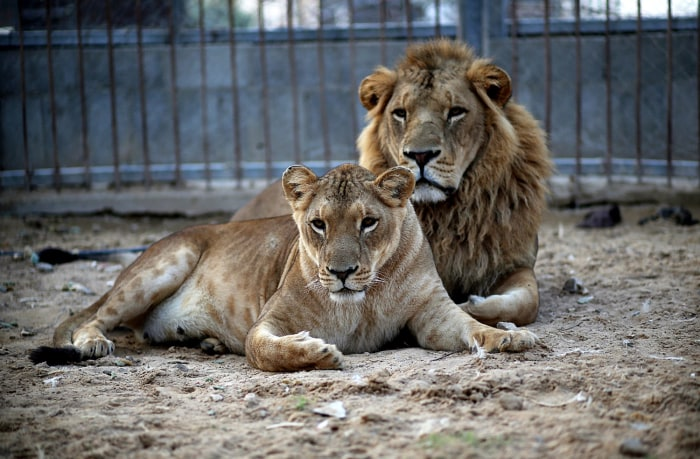 epa03956963 A male (R) and a female lion (L) lie in the sand at a zoo after the female gave birth to two cubs two days earlier in Beit Lahiya town in ...
