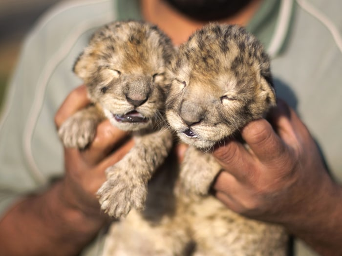 Two-day-old lion cubs Fajr and Sijil are seen at a zoo in the northern Gaza Strip town of Beit Lahia, on November 19, 2013 . The cubs' mother and fathe...