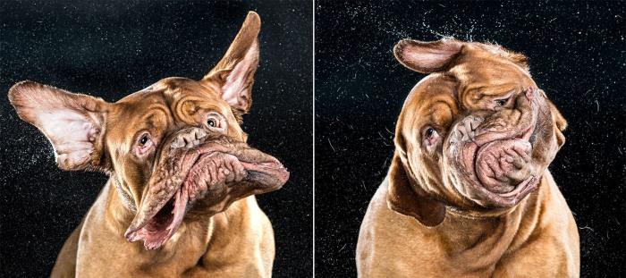 dog shakes