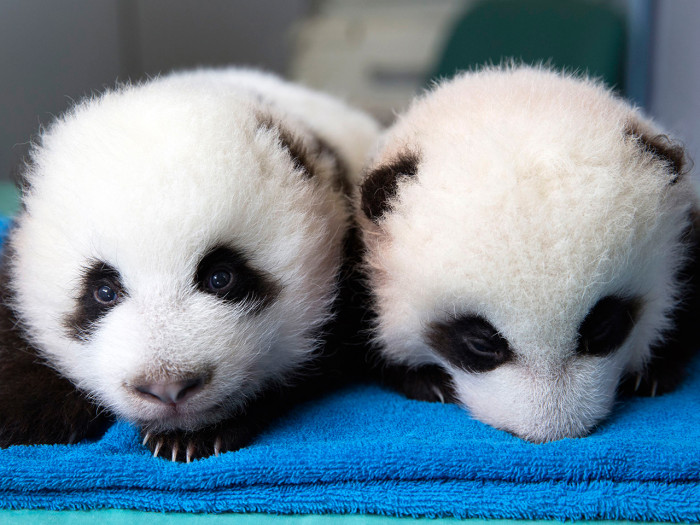 Two male giant panda cubs are shown in this handout provided by The Atlanta Zoo in Atlanta, Georgia, October 3, 2013. The zoo is giving members of the...