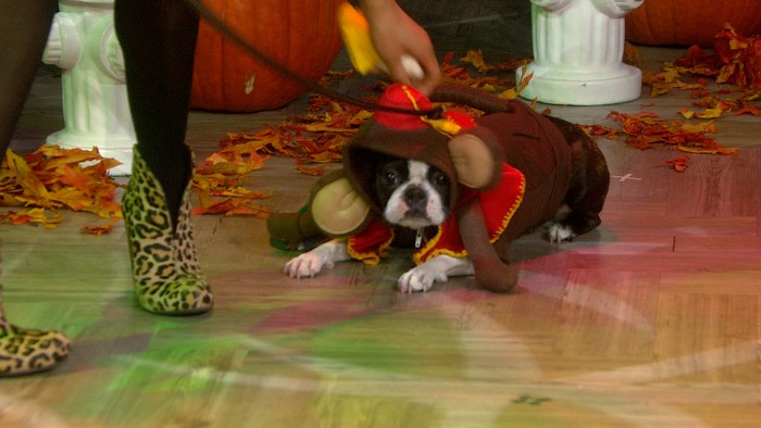 This dog, dressed like an organ grinder for a Halloween segment, was not amused.