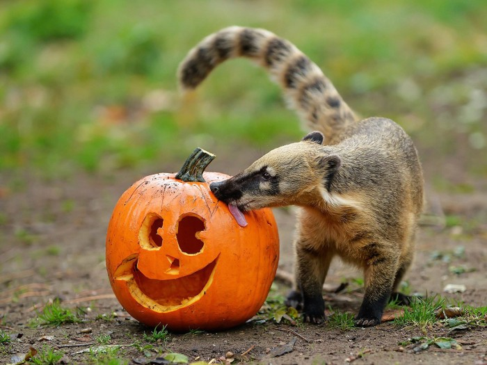 epa03927781 An undated handout photograph made available by Schoenbrunn Zoo on 28 October 2013 shows a coati licking a pumpkin ahead of Halloween at S...