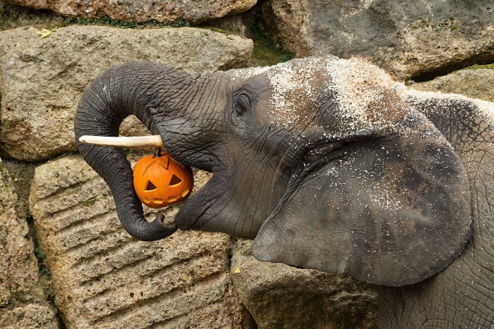 epa03927784 An undated handout photograph made available by Schoenbrunn Zoo on 28 October 2013 shows a elephant eating a pumpkin ahead of Halloween at...