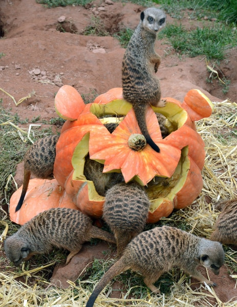 Meerkats inspect a pumpkin carved in Halloween design and filled with flour worms and straw on September 24, 2013 at the zoo in Leipzig, eastern Germa...