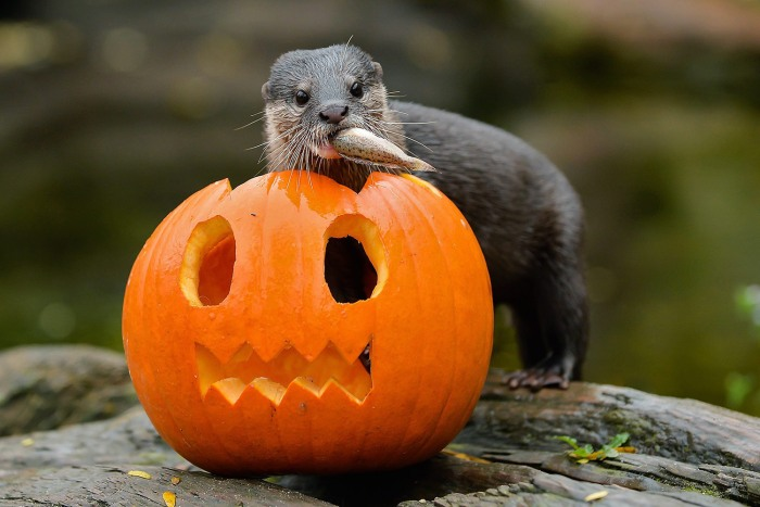 epa03927782 An undated handout photograph made available by Schoenbrunn Zoo on 28 October 2013 shows an otter standing next to a pumpkin ahead of Hall...