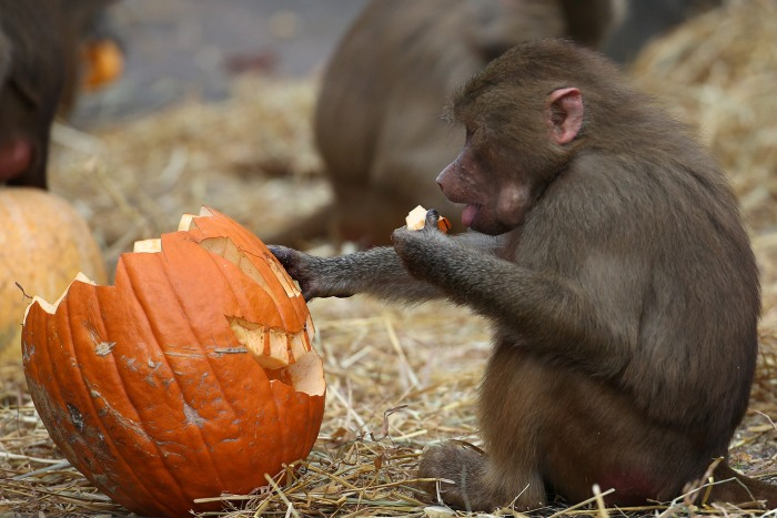 epa03928828 A baboon eats a Halloween pumpkin during a photocall at the Hagenbeck Zoo in Hamburg, Germany, 29 October 2013. Halloween is celebrated on...