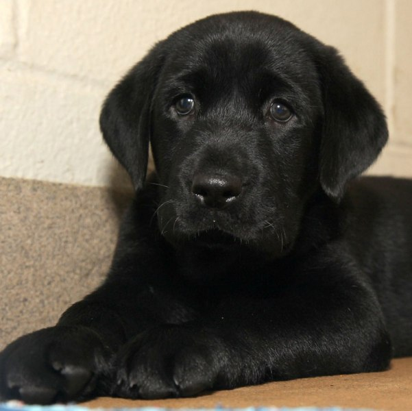 This undated photo provided by the Dallas Zoological Society shows a black Labrador retriever puppy named Amani.  Zoo officials have given Amani to tw...