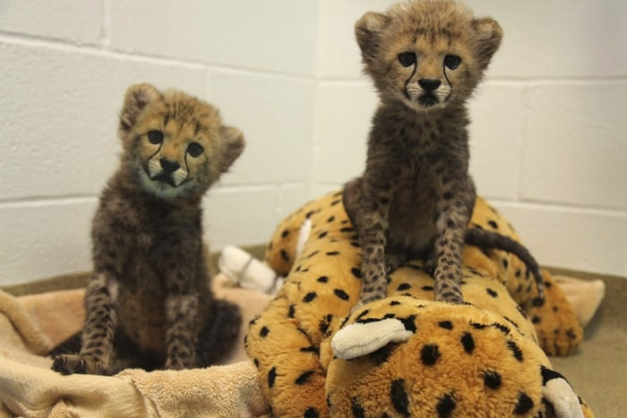 Two cheetah cubs, Winspear (L) and Kamau, are pictured in this undated handout photo courtesy of the Dallas Zoo, in Dallas, Texas, received by Reuters...