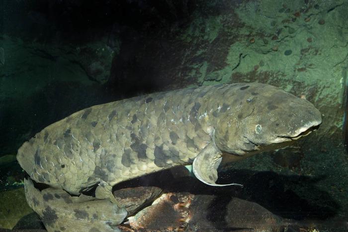 Image: Granddad the Australian lungfish