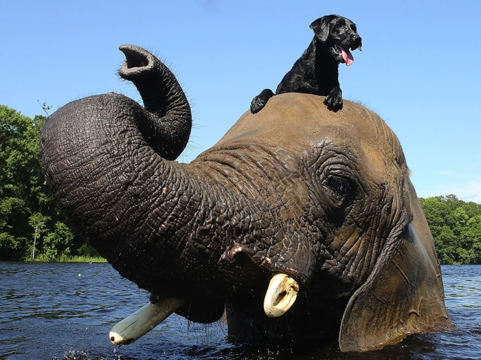 EXCLUSIVE: Bubbles, a 32 year old African elephant, plays in the river with his best friend Bella, a 3 year old labrador. They both live together at M...