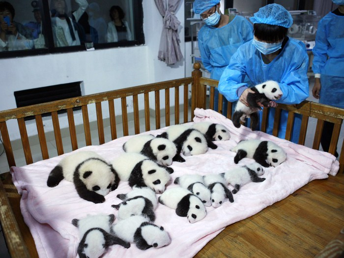 A breeder puts a giant panda cub into a crib at Chengdu Research Base of Giant Panda Breeding in Chengdu, Sichuan province, September 23, 2013. Fourte...
