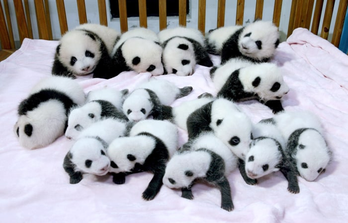 Giant panda cubs lie in a crib at Chengdu Research Base of Giant Panda Breeding in Chengdu, Sichuan province, September 23, 2013. Fourteen new joiners...